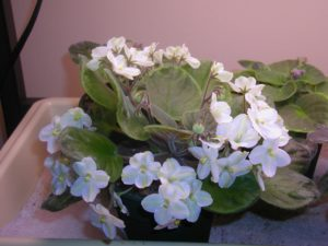 White.Green African Violet